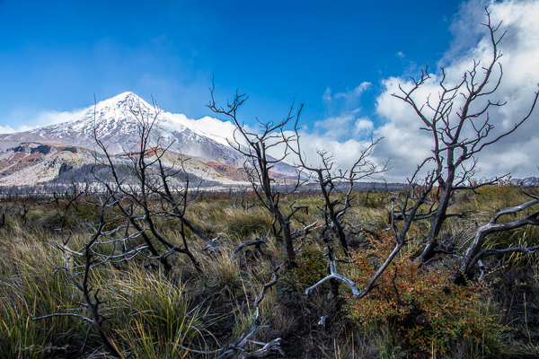 burnt forest and volcano Lanin